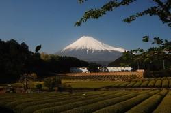 富士市茶畑(2010年4月29日16:00)