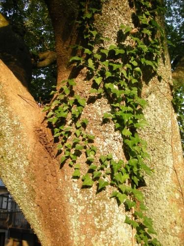 公園入口の大木に絡まるツタ