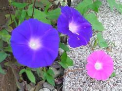 ご近所の庭に咲いていたアサガオ