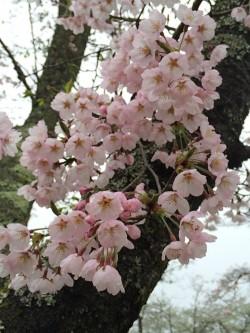 天母山の桜