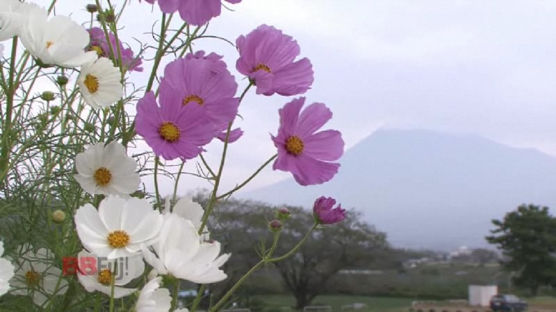 the mt.fuji and cosmos flower