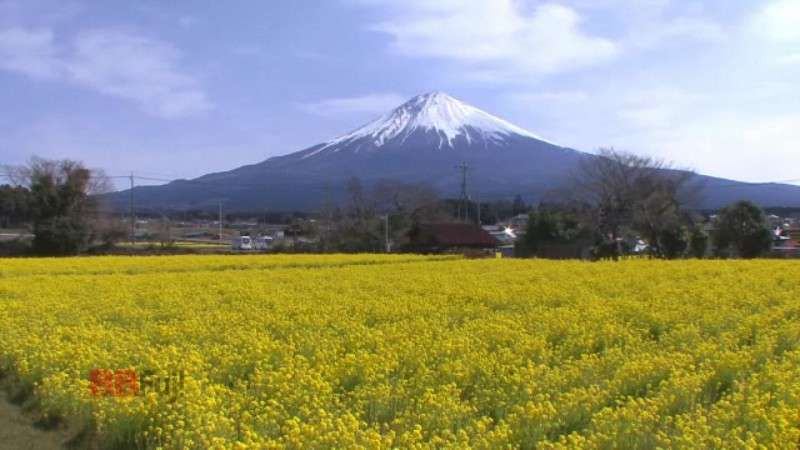 the mt. fuji and a rape blossoms field