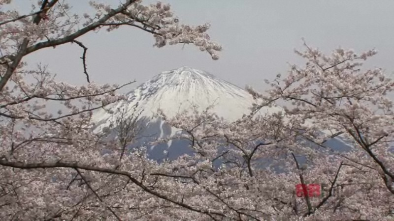 the mt.fuji and cherry blossoms in the taisekiji temple