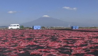 the mt.fuji and sun airing of the sakura_ebi