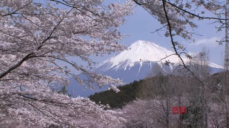 the mt.fuji and cherry blossoms of the iwamotoyama park
